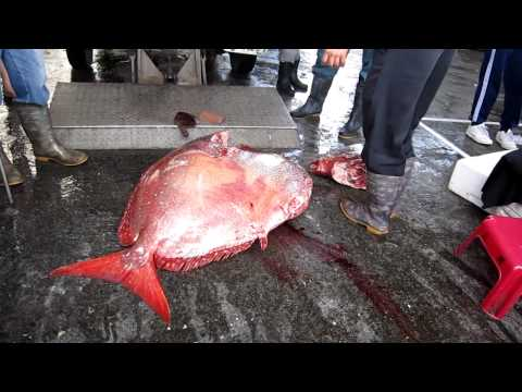 處理捕獲的深海魚, 魚頭斷掉的那一刻,看起來超殘忍!!