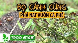 Nông nghiệp | Kom Tum: Bọ cánh cứng gây nguy cơ thiệt hại năng suất trên hàng trăm ha cà phê