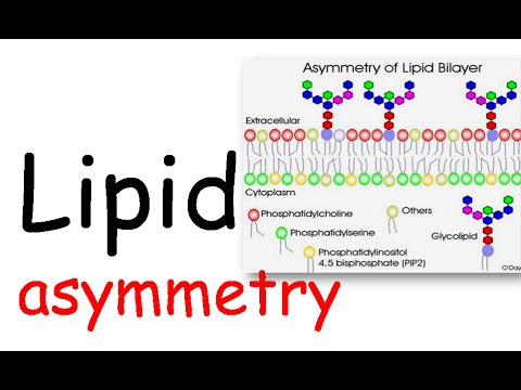 Lipid Asymmetry