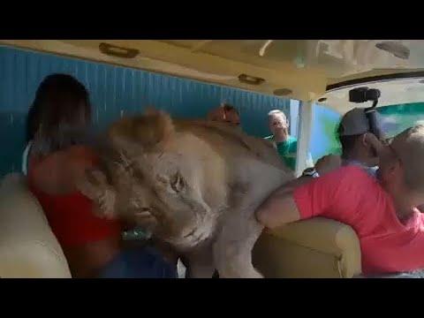 Bilohirsk (Krim): Im Safaripark Taigan springt ein Löwe in einen offenen Touristen-Bus