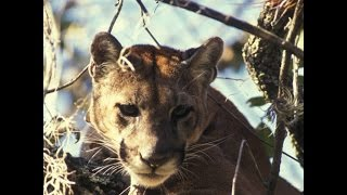 Interesting Facts About Cougars
