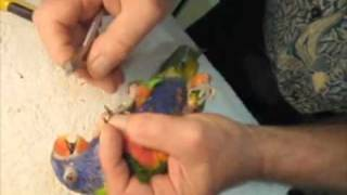 How To Clip Nails Of Rainbow Lorikeet 020910