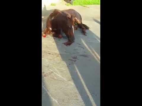 Jales - Cavalo agoniza machucado em Porta de Posto de Saúde em Jales.