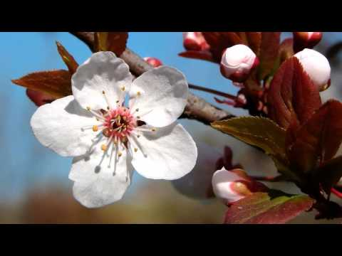 Beautiful Chinese Flowers Music - The Plum Blossom Melody (видео)