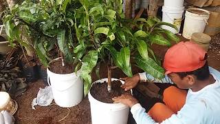 Video Tabulanpot mangga cepat buah MP3, 3GP, MP4, WEBM, AVI, FLV November 2018