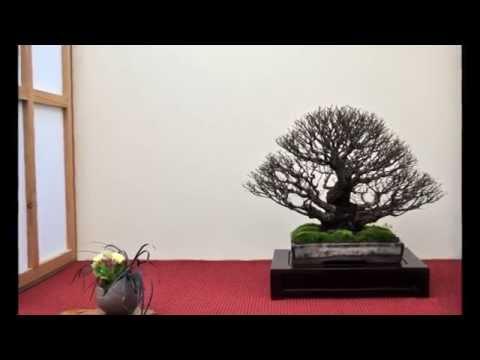British Shohin Association Exhibition 2014 Part 3 - The Displays