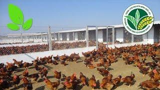 """""""Mục sở thị"""" trại gà lớn nhất tỉnh Tây Ninh, thu bạc tỷ mỗi năm"""