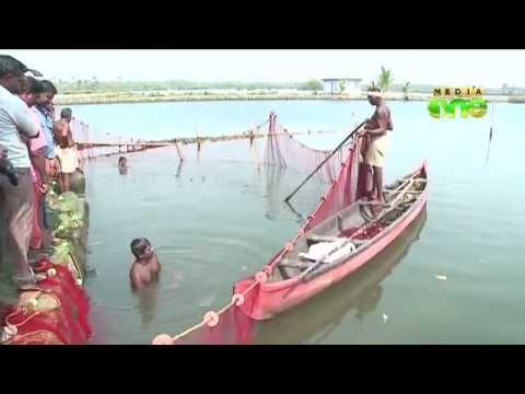 Prawn clip for Pokkali farms lands into trouble