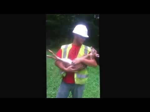 l'uomo cerca di mettere un cerbiatto a terra guardate che succede!