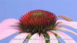 Echinacea, Cone flower time lapse