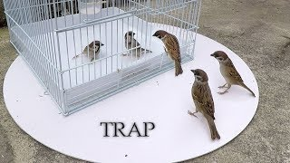 Video Can we catch bird with cage? - cage bird trap MP3, 3GP, MP4, WEBM, AVI, FLV Januari 2019