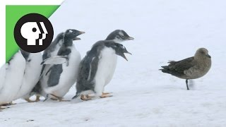 Nonton Penguin Chicks Fend Off Predator Film Subtitle Indonesia Streaming Movie Download