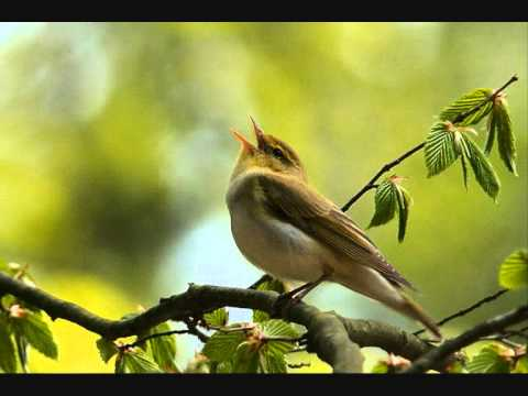 bird - Soothing bird songs. Don't forget to leave a comment or rating. Recordings by Klankschap. If you liked this, be sure to try out these videos: 12 hours of oce...