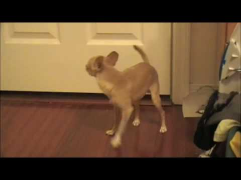 Peanut Barking at my Foot