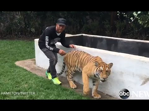 Video Lewis Hamilton Scares a Tiger download in MP3, 3GP, MP4, WEBM, AVI, FLV January 2017