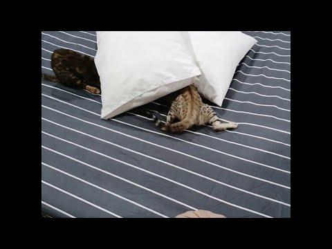 Бенгальские котята помогают заправлять кровать