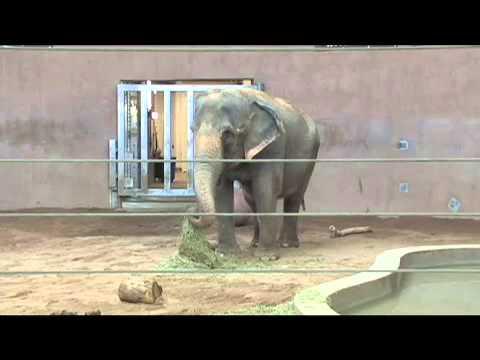 video:DENVER ZOO ASIAN ELEPHANT