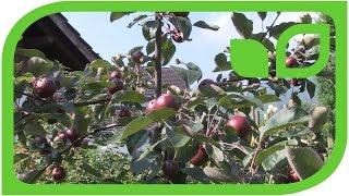Der Zierwert der Redlove-Äpfel, noch unreif