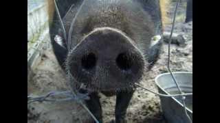 Florida Agriculture Museum Pig