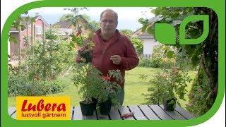 Tomaten selber ziehen: Kennen Sie die 3 Wuchstypen?
