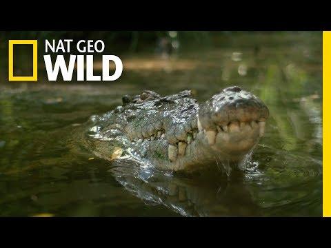 Watch a Croc's Brutal Death Roll | Boss Croc