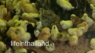 Roi Et Thailand  city photos gallery : Thailand chicken hatchery, Roi Et Thailand, And a box of babies for me