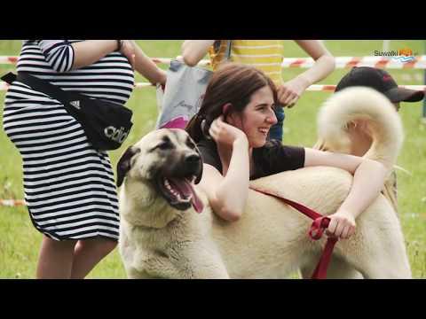 Zwyciężył berneński pies pasterski. W Dowspudzie odbyła się II Krajowa Wystawa Psów Rasowych