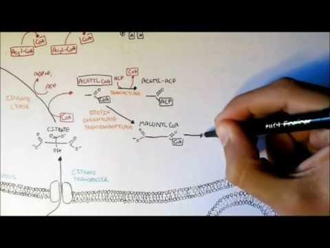Human Metabolism Map V - Fatty Acid Synthesis