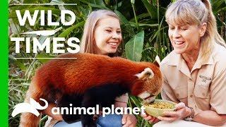 Bindi And Terri Introduce Us To Ravi the Red Panda! | Wild Times by Animal Planet