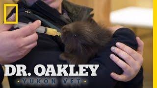 Examining a Baby Porcupine | Dr. Oakley, Yukon Vet by Nat Geo WILD