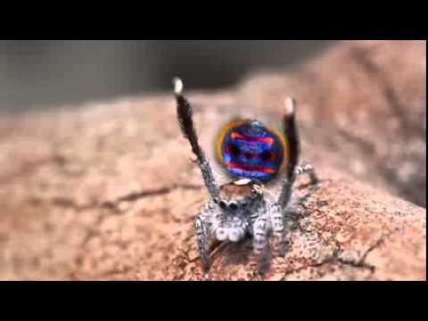 il bellissimo ragno pavone - guardatelo in azione!
