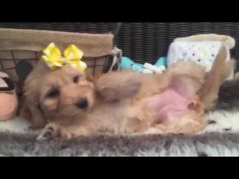 Lovely, petite Mini Goldendoodle female