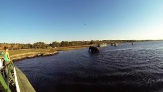 Large elephant crossing the Chobe river in Botswana, Africa. Video taken with gopro. August 2015