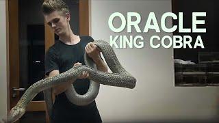 Video ORACLE THE HUGE KING COBRA! MP3, 3GP, MP4, WEBM, AVI, FLV Desember 2018