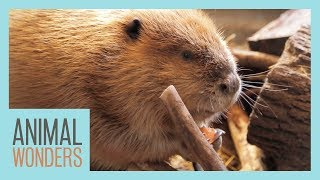 Huckleberry The Beaver's Big New Home! by Animal Wonders