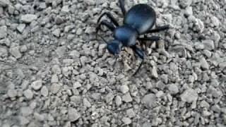 Cali Beetle throws stones then looks for prey