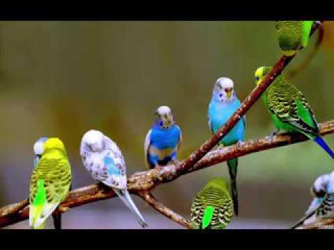 Video papagan ve muhabbet kusu konusturma sesi ses kaydi cici kus 1 saat download in MP3, 3GP, MP4, WEBM, AVI, FLV January 2017