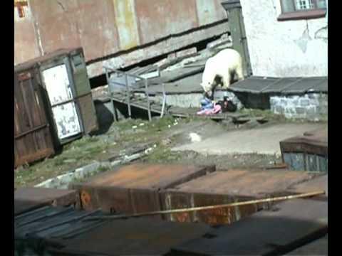 【從女子角度看】為了英雄救美 俄男掟活狗餵北極熊