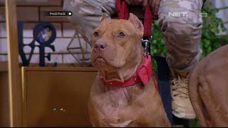Video Anjing Pitbull yang Seram di Muka Mawar di Hati MP3, 3GP, MP4, WEBM, AVI, FLV November 2018
