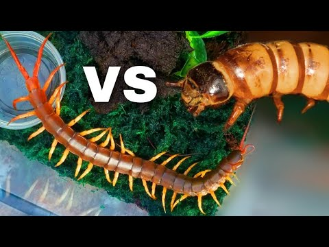 GIANT Centipede vs Superworm | BUG WARS