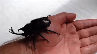 Japanese rhinoceros pet beetle, Allomyrhina dichotoma, a male on the hand