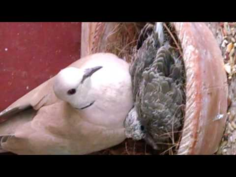 HOW TO TAKE CARE OF MOURNING DOVES | BASIC INFORMATION OF MOURNING DOVES IN URDU