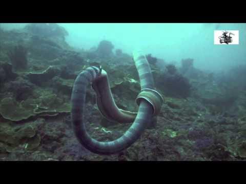 潛友在海中拍到蛇吞鰻奇景!海鰻使出了相當華麗的掙脫術!