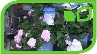 Die dauerblühenden Hortensien schneiden