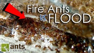 Fire Ants vs. Flood | What Happens to Ants When It Rains?