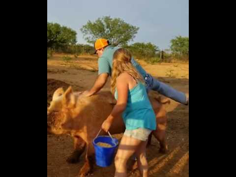 Lucas Boiadeiro foi montar no porco e veja no que deu .....ha ha ha ha