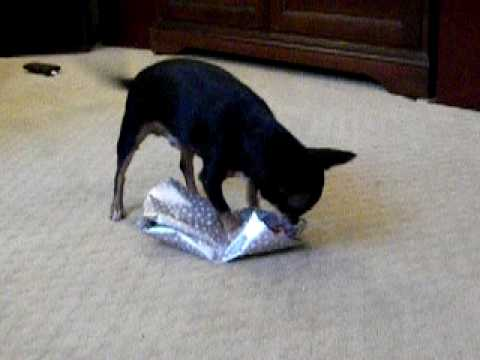 paco the chihuahua opens christmas gifts