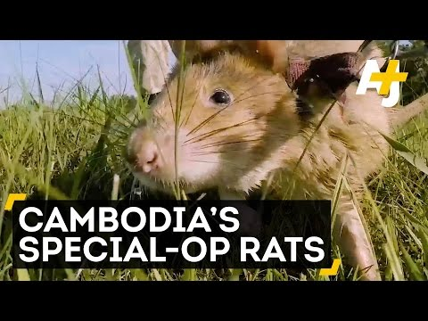 Giant Rats Are Clearing Landmines In Cambodia