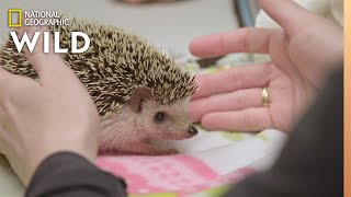 A Hedgehog with Abscessed Teeth | Dr. T, Lone Star Vet by Nat Geo WILD
