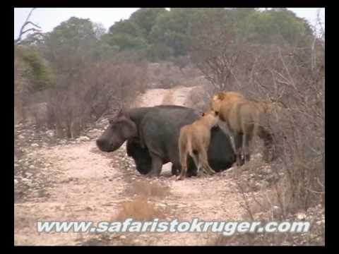 Kruger Lions Kill Hippo (not for sensitive viewers)